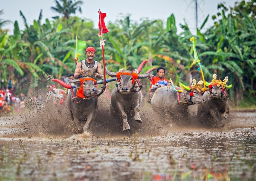 Photo of decorated water buffalo charging