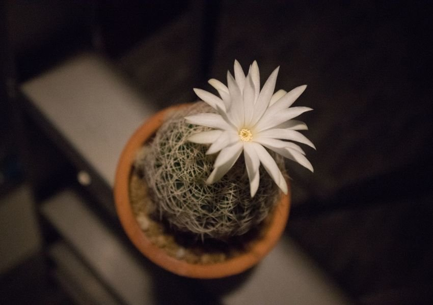 Photo of a green, spiny cactus with a white flower growing out of the top