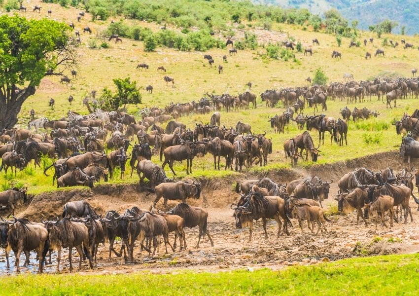 Photo of herds of wildebeest on the plains of the Serengeti
