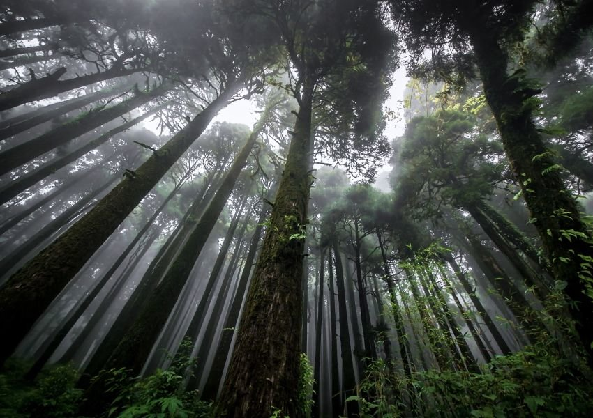 Photo of extremely tall trees taken from the bottom of the forest
