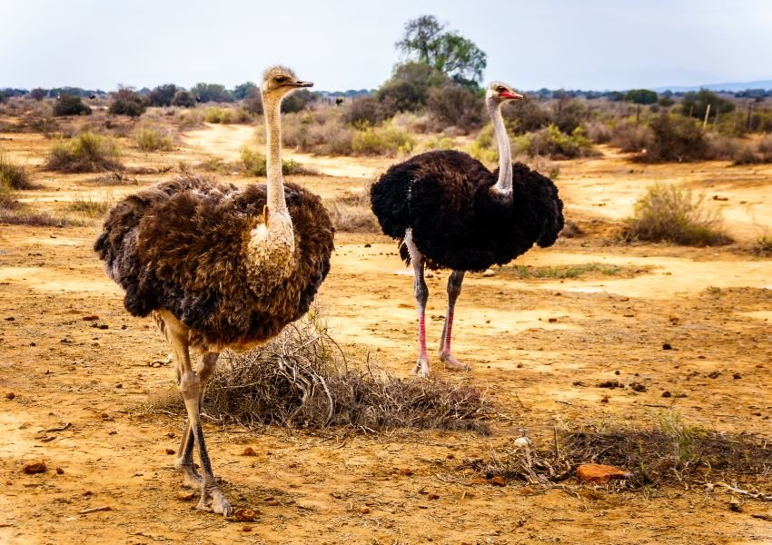 Two Ostriches in Oudtshoorn District