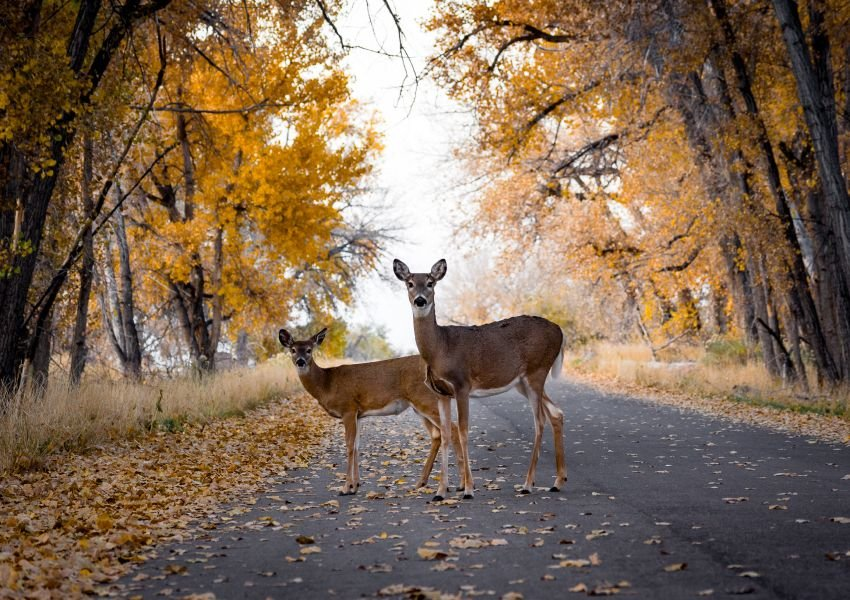 Two deer on a road surrounded by trees