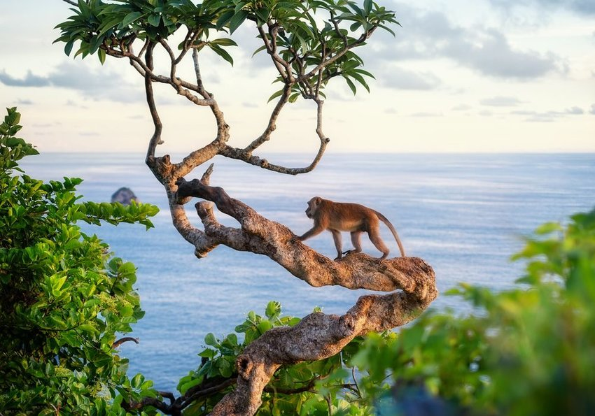Aerial view of rainforest canopy and monkey climbing branch near Kelingking Beach, Indonesia