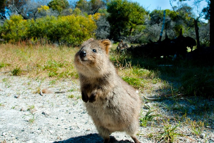 Photo of a quokka