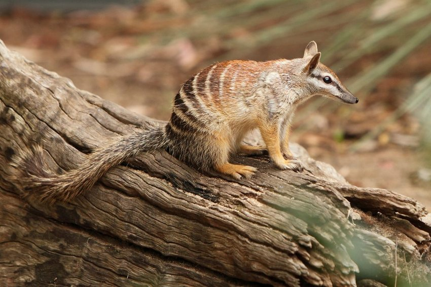 Photo of a numbat sitting on a log