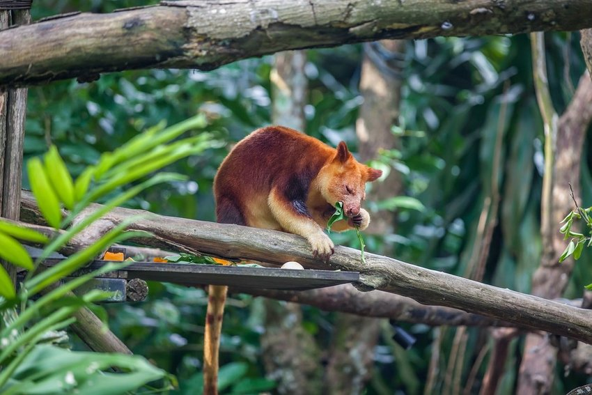 Photo of a tree kangaroo eating leaves in a tree