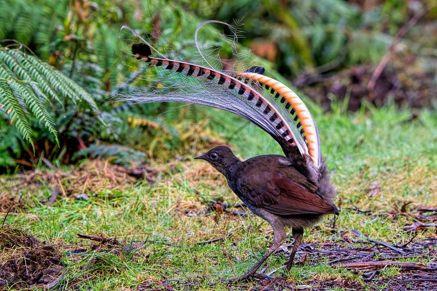 Photo of a lyrebird with large, colorful tail feathers