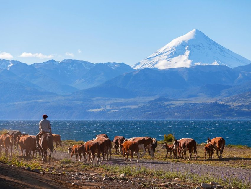 Photo of a farmer corralling cattle with mountains in the background