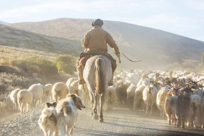 Photo of a person on horseback wrangling sheep