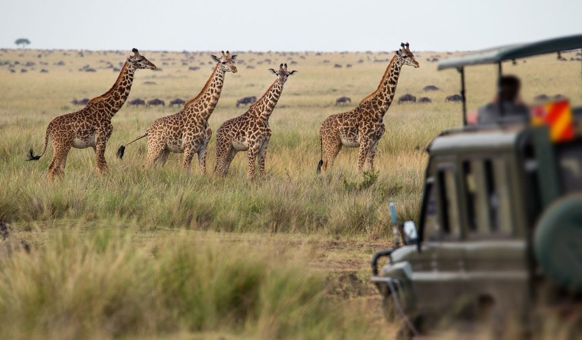 Photo of four giraffes and people on a safari