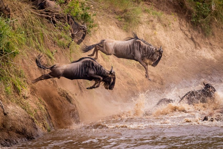 Photo of wildebeest jumping into a river