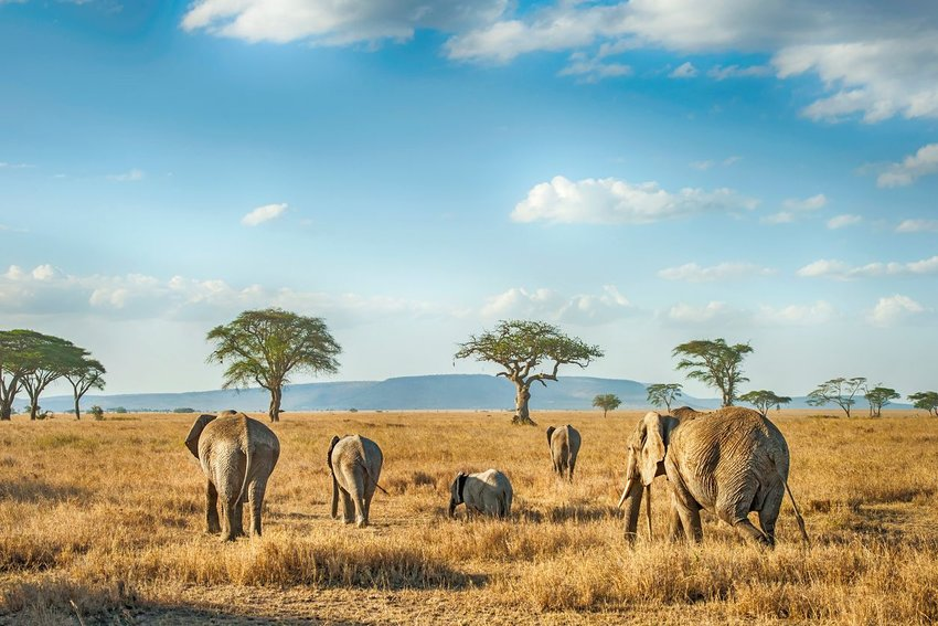 Photo of elephants on an open grassland