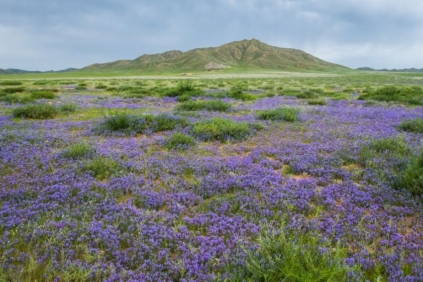 Landscape of grassy Mongolian steppe with vibrant purple wildflowers