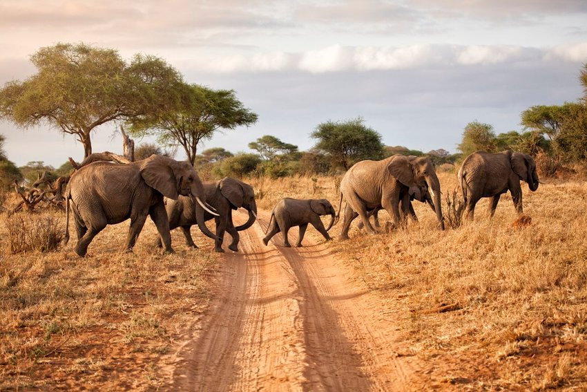 Herd of elephants crossing a dirt road in an open savanna