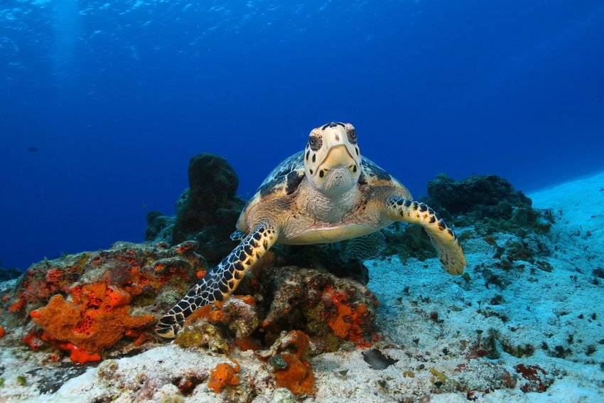 Up close view of hawksbill turtle swimming underwater in Mexico