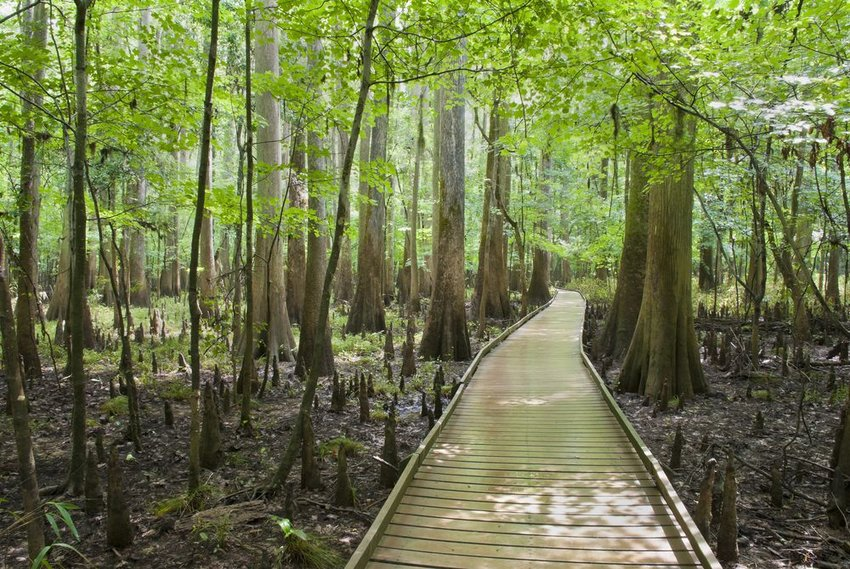 Wooden path in the middle of cypress woods in Congaree National Park, South Carolina