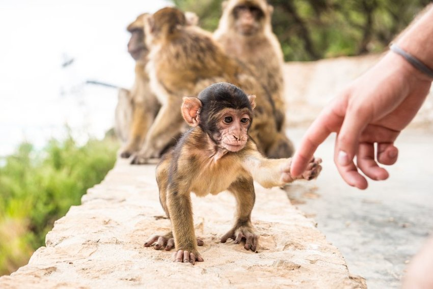 Person shaking hands with baby monkey at the Rock of Gibraltar