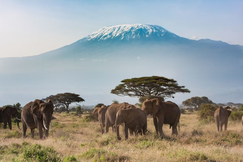 African wildlife standing in savanna with looming Mount Kilimanjaro peak in distance