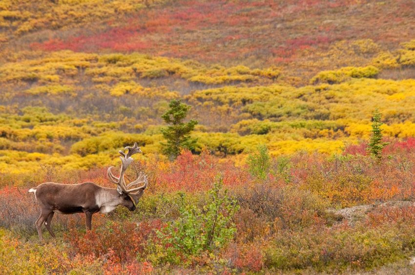 Autumn tundra landscape with caribou in foreground and brightly colored shrubbery