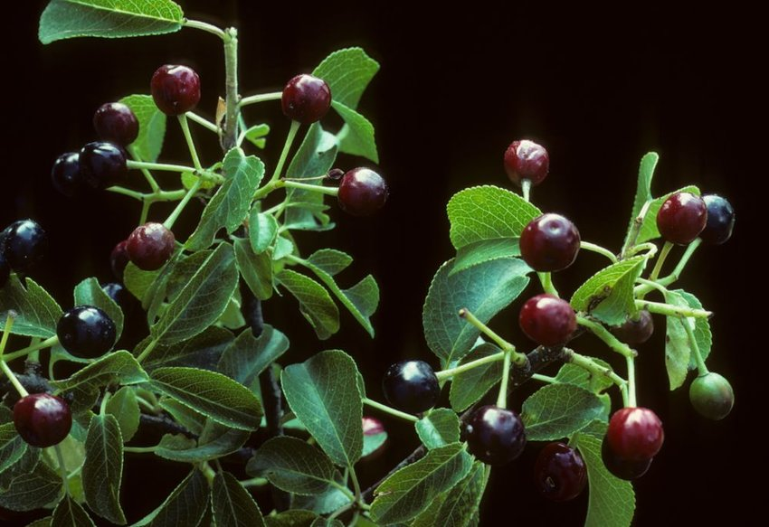 Green St. Lucy sour cherry plant, the base for  mahlab spices