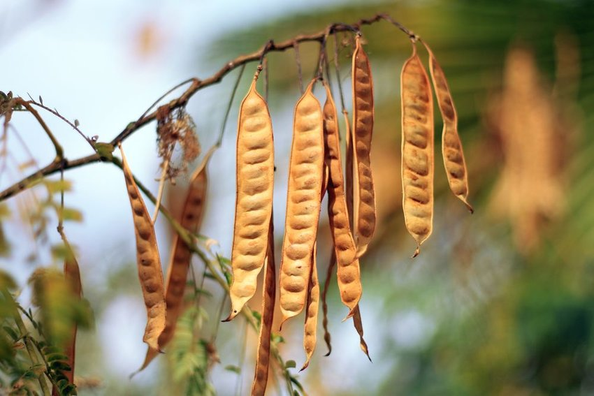 Brown wattleseed pods hanging from tree branch outside