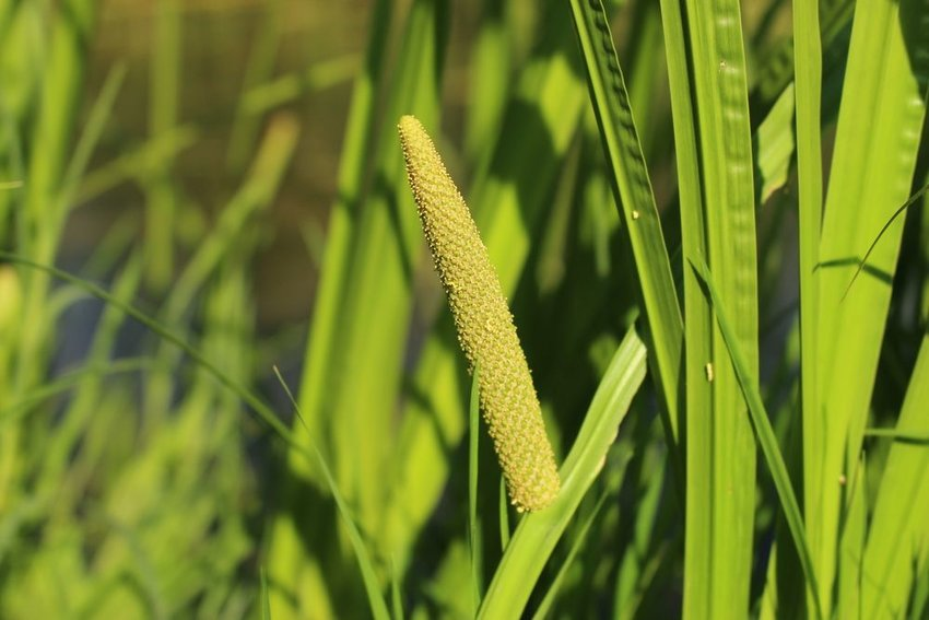 Up close view of green calamus plant from which sweet flag is derived