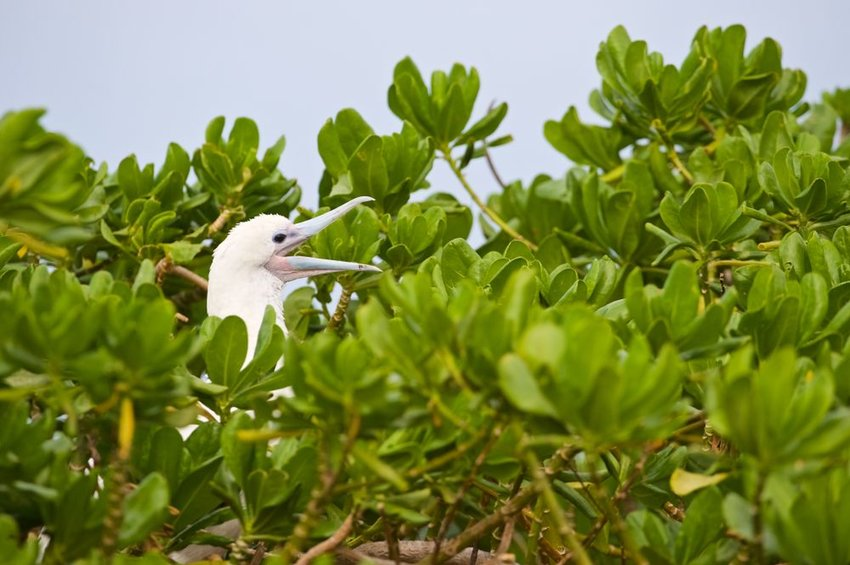 Up close view of seabird nestled in bush inside the Midway Islands National Wildlife Refuge