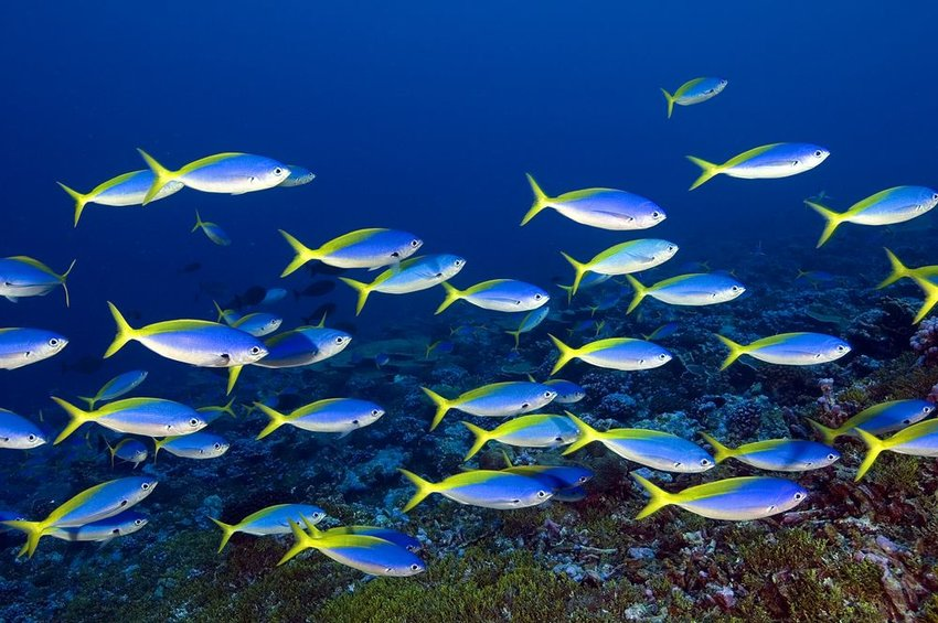 Underwater view of school of bright blue and yellow fish within the Palmyra Atoll