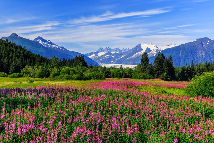 Meadow of flowers with mountains in the background in Juneau, Alaska