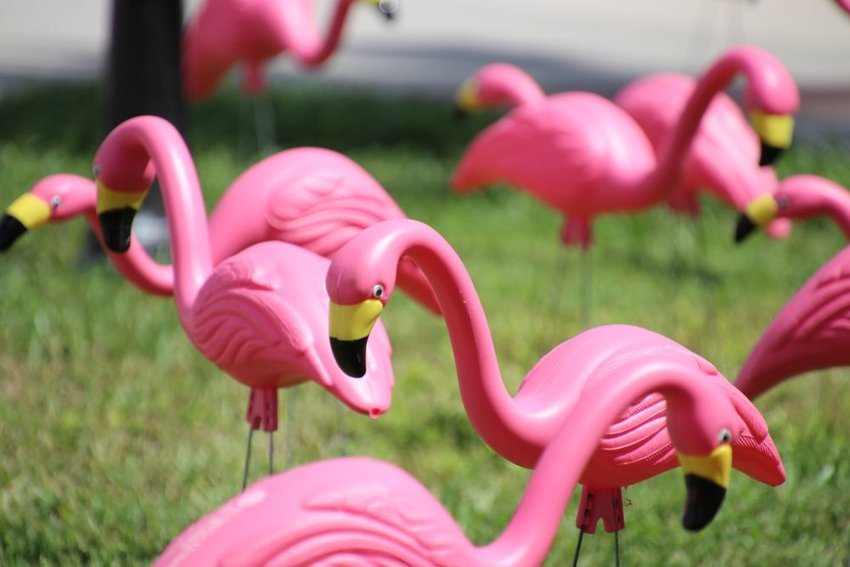 Up close view of flock of pink flamingos adorning a person's lawn