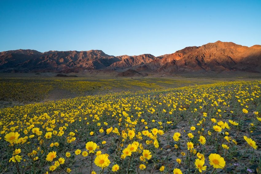 Death Valley in California, with fields of yellow wildflowers in foreground
