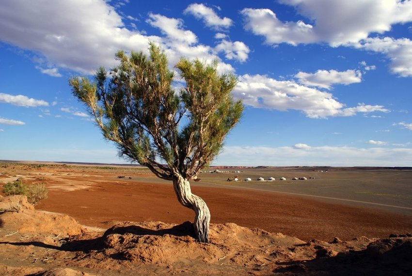 Solitary tree growing out of the barren rocks in the Gobi desert under scattered clouds