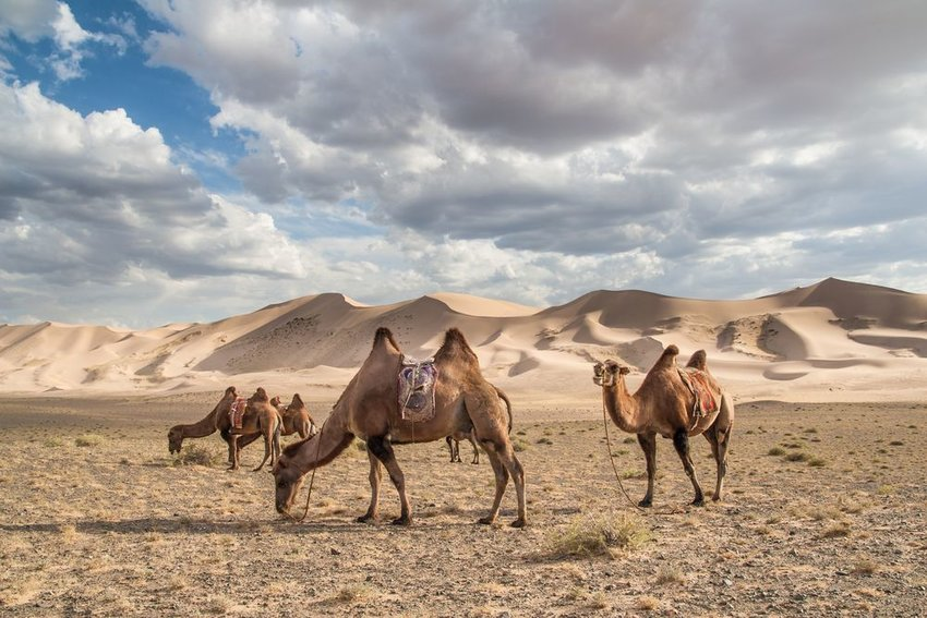 Several large bactrian camels pace around Gobi desert landscape under cloudy skies