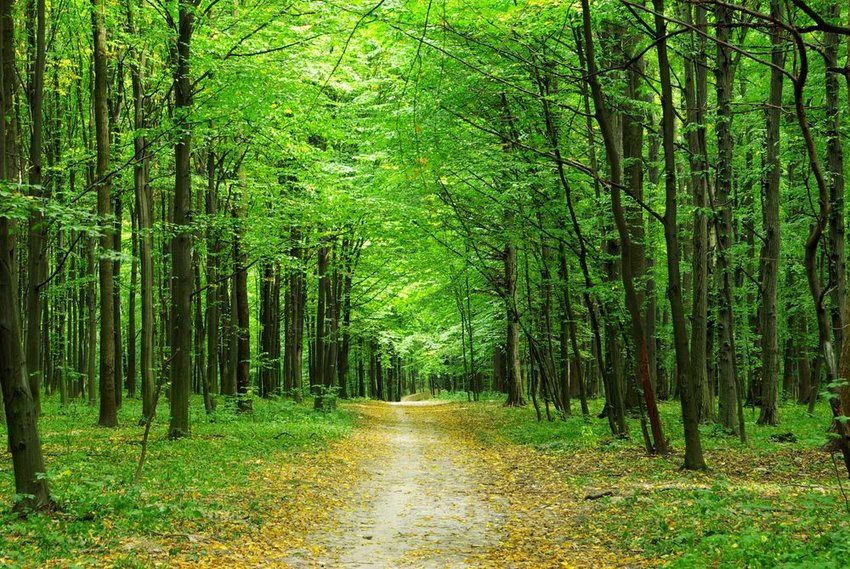 Large forest filled with dense, tall trees and greenery