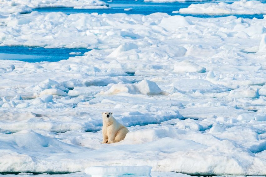 Solitary polar bear sitting on ice in northern region of Svalbard, Norway