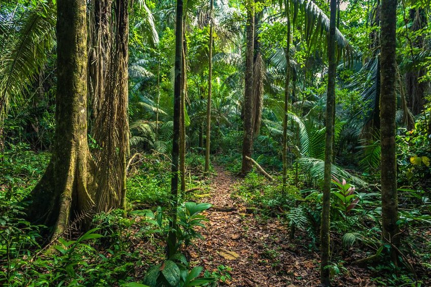 Dense forest and tree trunks in the Amazon Rainforest, Manu National Park, Peru