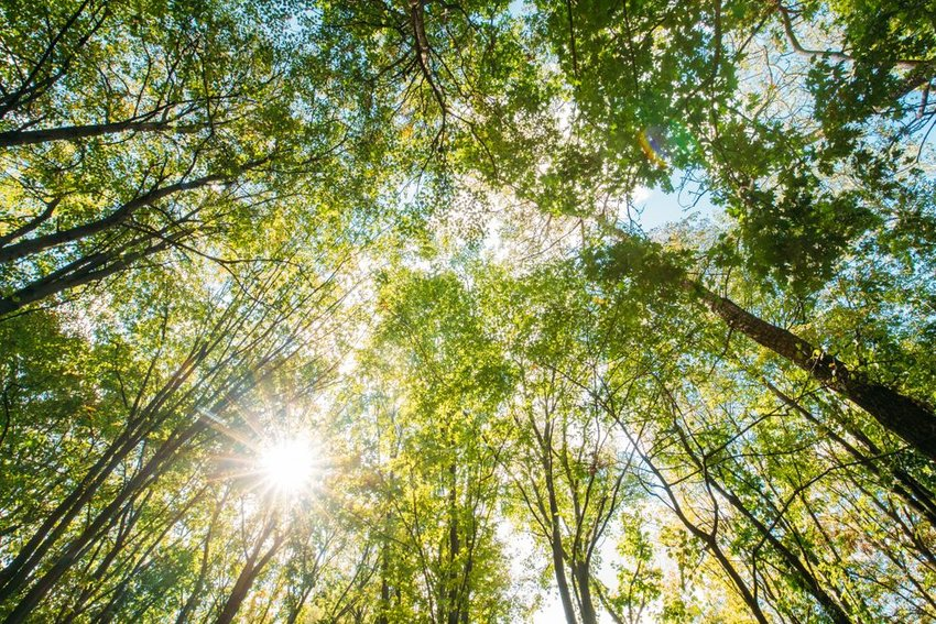 Ground view of leaves and tall tree trunks silhouetted against bright sun
