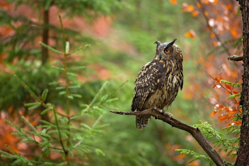 Eurasian eagle-owl perched on tree branch with multicolored leaves in background