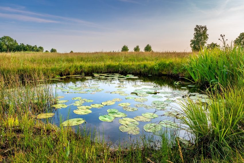 Pond with water lillies and grass all around