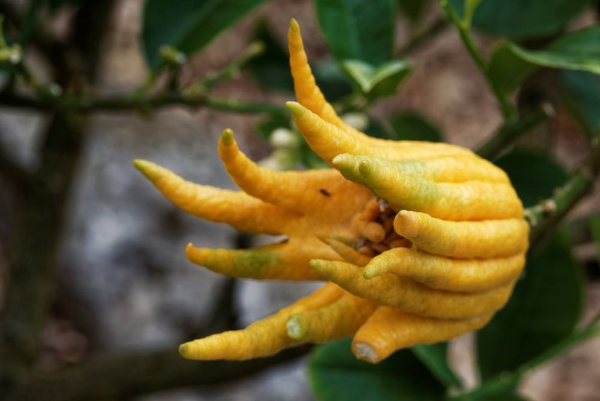 Wild Buddha's Hand Citron growing on a tree, showing long yellow fruit tendrils