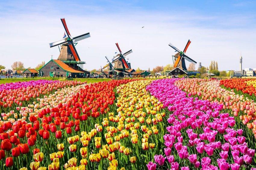Colorful tulip garden in front of traditional Dutch windmills, Zaanse Schans, Netherlands