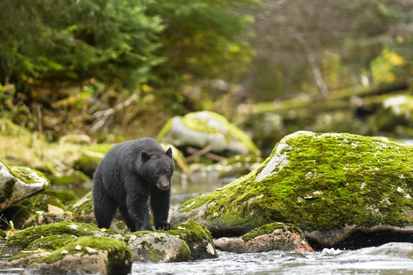 Wild black bear walking along stream and moss covered rocks in New England wilderness