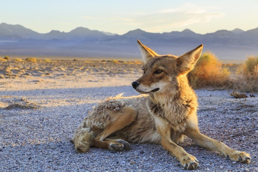 Solitary coyote rests on the ground in an empty Death Valley landscape