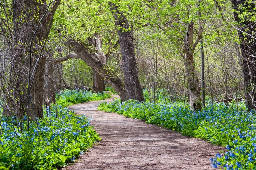 Potomac Heritage Trail through blue flowers surrounded by trees