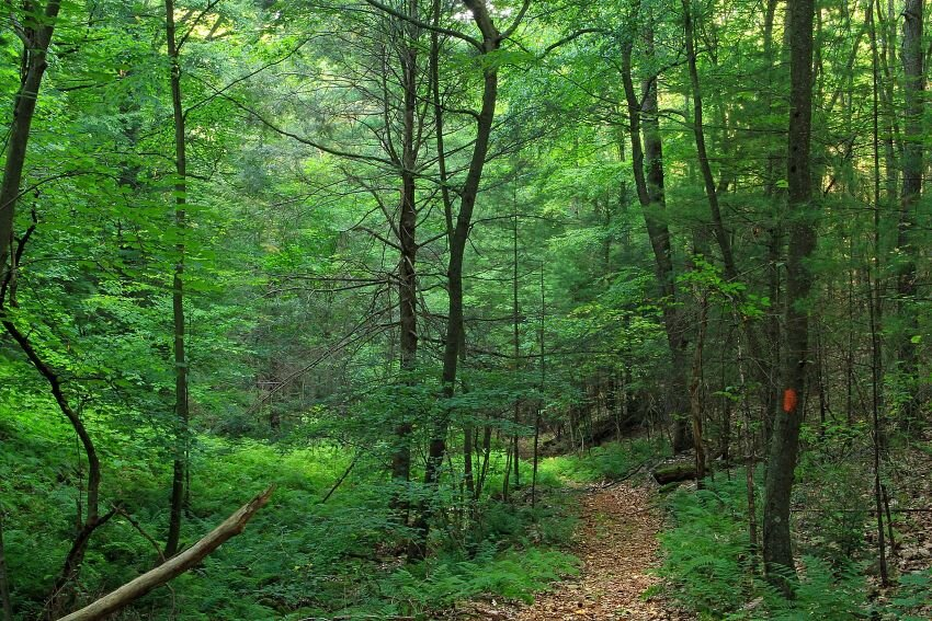 Midstate Trail path surrounded by trees.