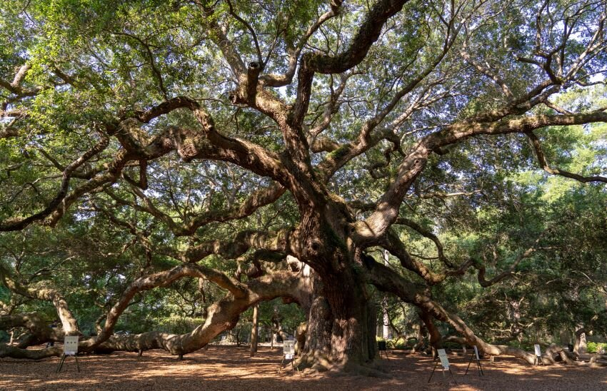 The massive branches of Angel Oak of John's Island with sunlight peeking through.