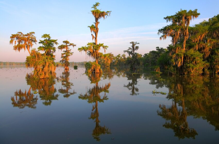 Bald cypress trees with reflection on Lake Martin