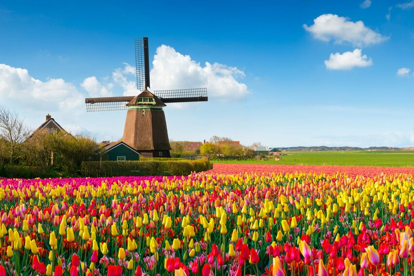 Windmill on field of colorful Dutch tulips
