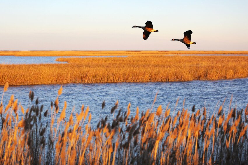 Canadian geese migrate above the waters of Bombay Hook National Wildlife Refuge
