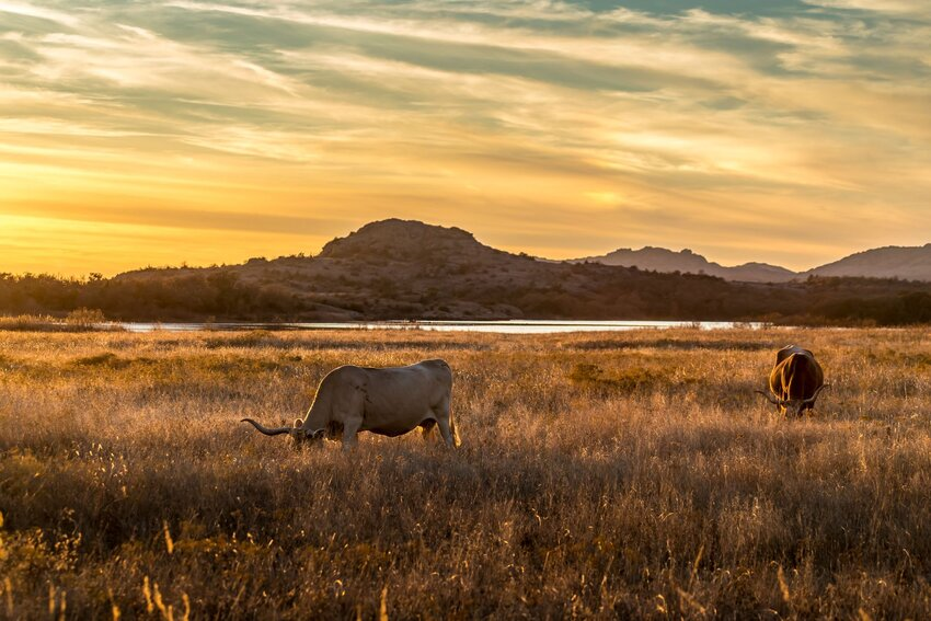 Texas longhorn grazing at sunset with mountain backdrop at Wichita Mountains Wildlife Refuge